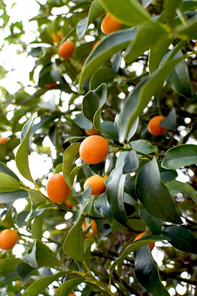 Kumquats on a tree surrounded by leaves